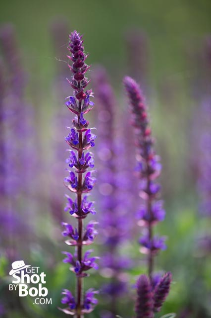 Make time to get out and play robert ditommaso photography shallow depth of field image of tall purple flowers found at the rochester veterans memorial gardens mightylinksfo