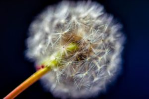 Close-up view of a Dandelion