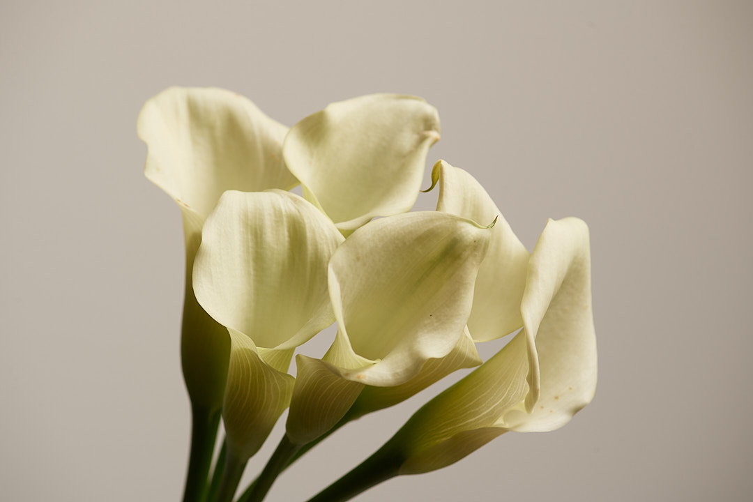 Calla Lillies photographed with one light