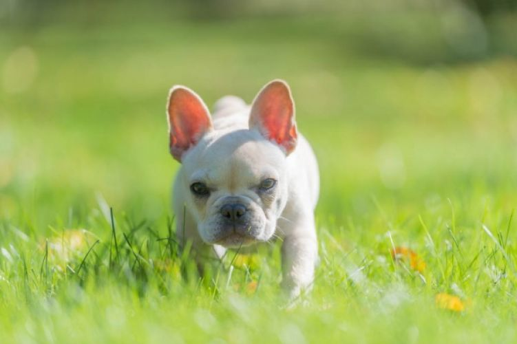 French Bulldog puppy playing gin his yard.